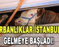Kurbanlıklar İstanbul'a Gelmeye Başladı!