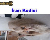 İran Kedisi